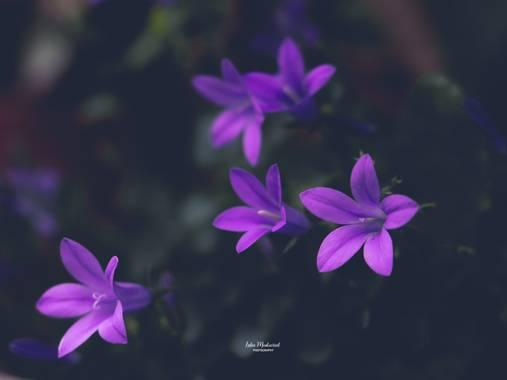 Lidia__lmr38 en Hamelin: Flora  (Zaragoza), Campanula portenschlagiana, #flores #hamelin #lila