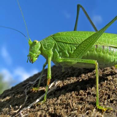 Ignicapillus en Hamelin: Fauna  (Castelló d'Empúries), ¡Que verde era mi ortóptero!  Con unos 3 cm de longitud, este sujeto es de los que lucen en los macr...