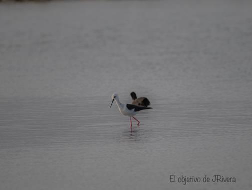 jriverarodri22 en Hamelin: Fauna  (El Ejido), En la charca de parque natural de Sabinar ce encontraba la cigüeñuela común buscando su alimento #ave21
