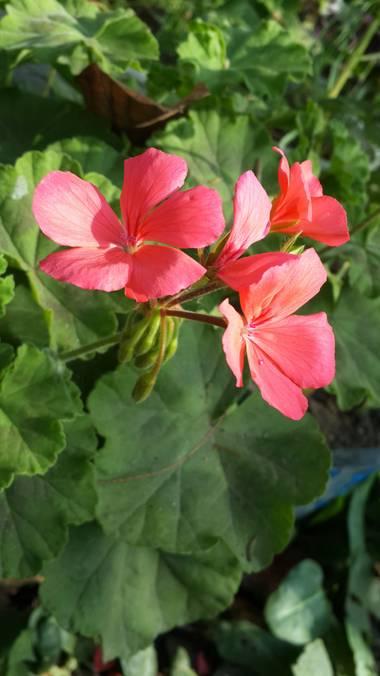 emax.linkin en Hamelin: Flora, Pelargonium zonale