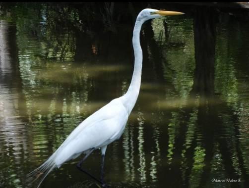 Marcos Valero Espinal  en Hamelin: Fauna  (Caracas), Ardea alba Linnaeus, 1758, #aves21