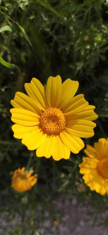Mylenium69 en Hamelin: Flora  (Altea), Glebionis coronaria, #flora #naturaleza #macrofotografia #primavera