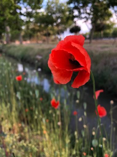 alionacociu en Hamelin: Flora  (El Prat de Llobregat), Papaver rhoeas, #flora21