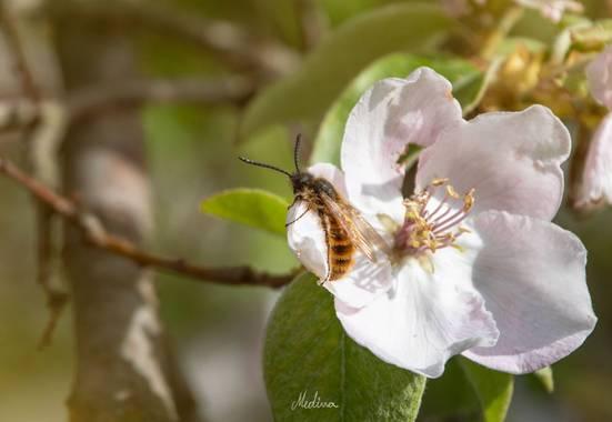 Vanessa_sm en Hamelin: Fauna  (Pozo Alcón), #fauna #hamelin #abeja #flor #primavera