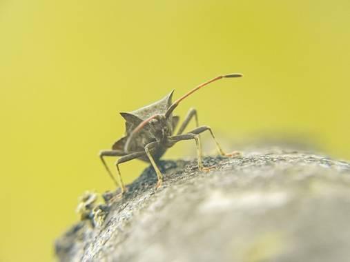 Eritz.cortazar en Hamelin: Fauna  (Bilbao), Insecto del muelle  #coreus #coreusmarginatus #chinche #insecto #insect #hamelin #nature #naturepic #naturaleza...