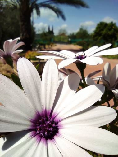 Ulricharrondo en Hamelin: Flora  (Posadas), Osteospermum ecklonis, #macro #flowerinnovember