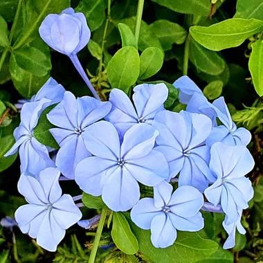 Juanviverde en Hamelin: Flora  (Sevilla), Plumbago auriculata, Arbusto de bonitas flores que dan color a los jardines mediterraneos.