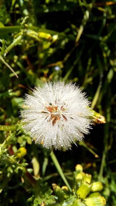 Corina en Hamelin: Flora  (Vitoria), Senecio vulgaris, #flora21, #dientedeleon
