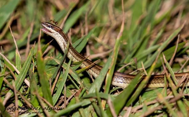 Olguin.jao en Hamelin: Fauna  (Tres Valles), La lagartijera (Mastigodryas melanolomus) es una especie de serpiente que pertenece al género Mastigodryas. Es...