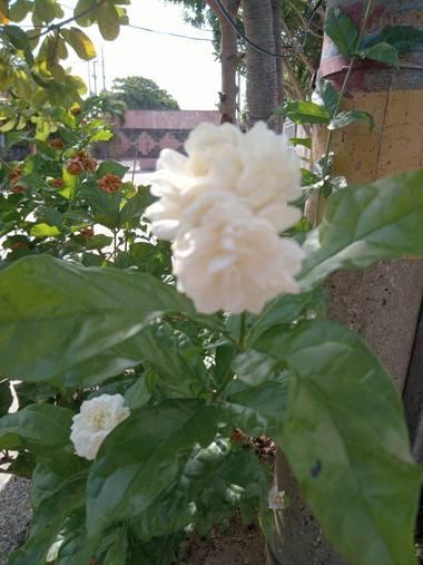 Nadia.karinacopywriter en Hamelin: Flora  (Barranquilla), Jasminum sambac, Flor de Jazmin #jazmin #jazminblanco #flor #flores #sunflowers #flowers #barranq...