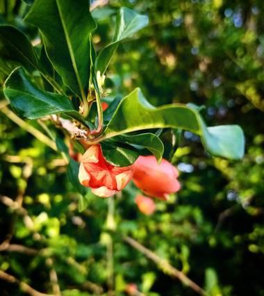 Navarroarevalomariateresa en Hamelin: Flora  (Viesca), Punica granatum, Botón del granado floreciendo!