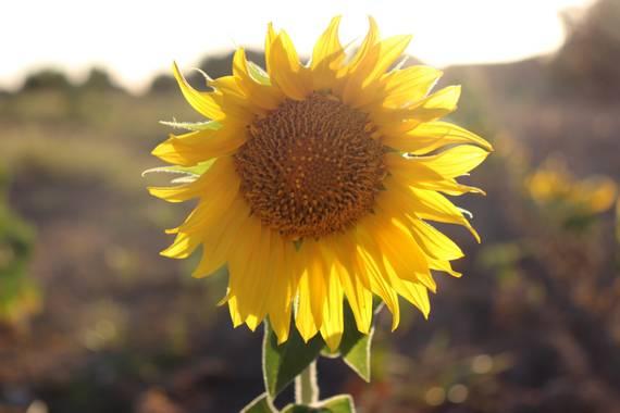 Maria L. en Hamelin: Flora  (Don Benito), Helianthus annuus, #girasol #sunflower