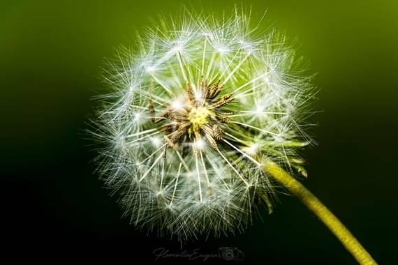 Florentinoeugenio en Hamelin: Flora, #flora21