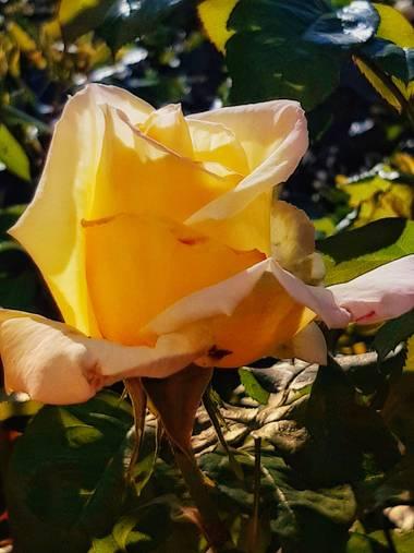 Mpinfante en Hamelin: Flora, Rosa chinensis