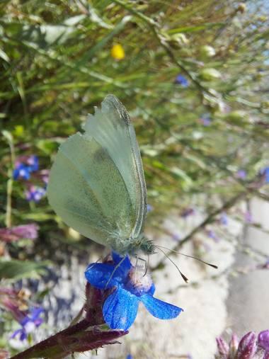 Apasnau75 en Hamelin: Fauna  (Pizarra), ¿Puede ser la mariposa de la Col?