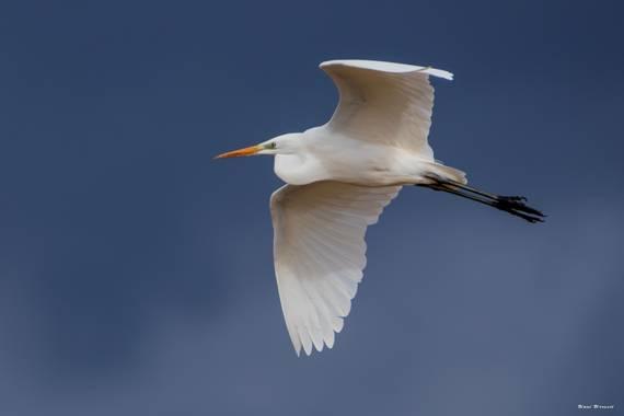 Unai Urresti en Hamelin: Fauna  (Pedernales), Ardea alba Linnaeus, 1758, Garceta grande.   #aves21 #garcetagrande   #fauna