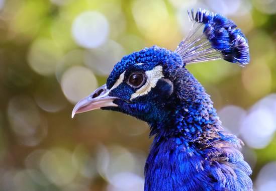 Rafael Alarcón Guerrero  en Hamelin: Fauna  (Alcalá de Henares), Pavo cristatus Linnaeus, 1758, #aves21 #aves #pavoreal #animalportrait #wildphotography #c...