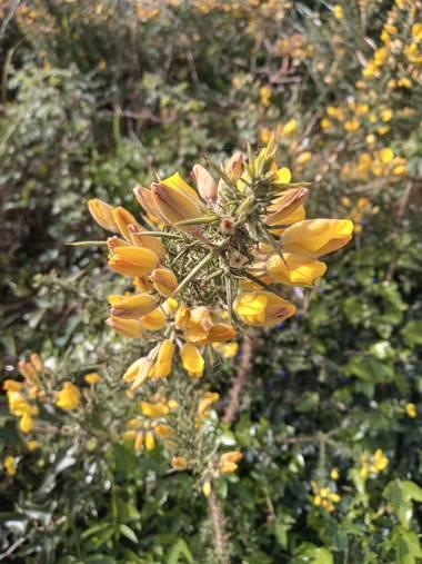 Alquimia Natural en Hamelin: Flora  (Marina de Cudeyo), Ulex europaeus, Fortuna 💕☀️