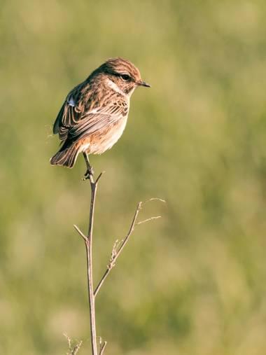 Pablosdoc en Hamelin: Fauna  (Santpedor), Saxicola rubicola (Linnaeus, 1766), #ave #aves #bird #birds #naturaleza #nature #fauna