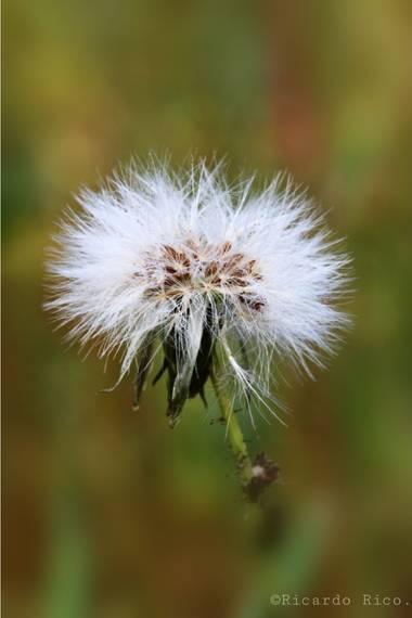 Rricoparrillas en Hamelin: Flora  (Argentona), #flora2021