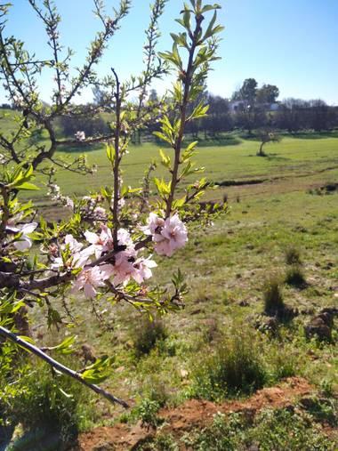 Msdh1981 en Hamelin: Flora  (Alcalá de Guadaíra), Flor de Almendro, y abeja.  🐝🌸🌄 Alcalá de Guadaíra, Sevilla.  #flor #almendro #AlcaláDeGuadaíra