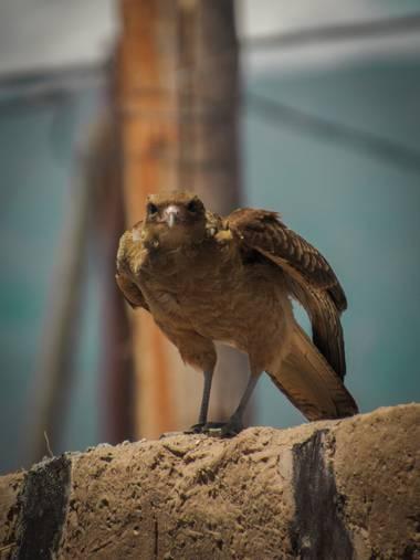 Pikeriel en Hamelin: Fauna, Milvago chimango (Vieillot, 1816), #ave #bird #nature