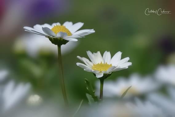 Cristobal.cadenas en Hamelin: Flora  (Badalona), Mauranthemum paludosum, #flora21  #natureloversgallery