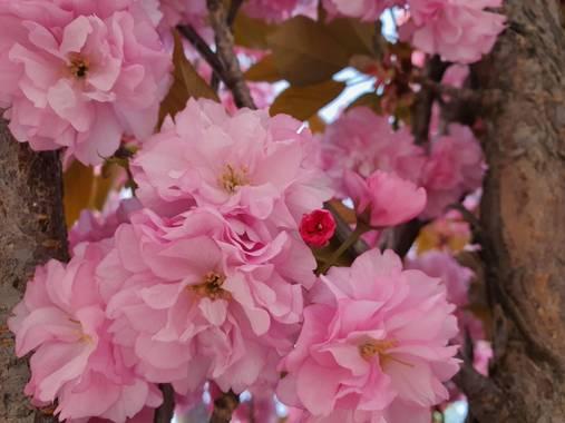 Rperaltatorres en Hamelin: Flora  (Leganés), Prunus serrulata, #primavera #spring...