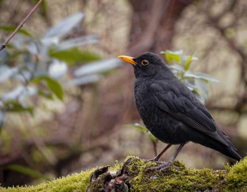 Eritz.cortazar en Hamelin: Fauna  (Barakaldo), Turdus merula Linnaeus, 1758, Mirlo 🐦  #mirlo #turdus #turdusmerula #tordo #ave #aves21 #bird #birdphoto #b...