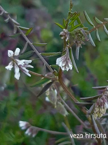 Mpinfante en Hamelin: Flora, Vicia hirsuta, .