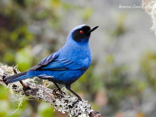zuro roma reserve en Hamelin: Fauna  (Nono), Diglossa cyanea (Lafresnaye, 1840), #birdwatching #birdwatchers #birding #birds #ecuador  #birdsofecuador #bir...