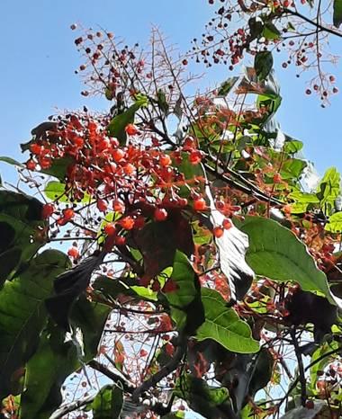 Naomi en Hamelin: Flora  (Barcelona), #fruto#árbol