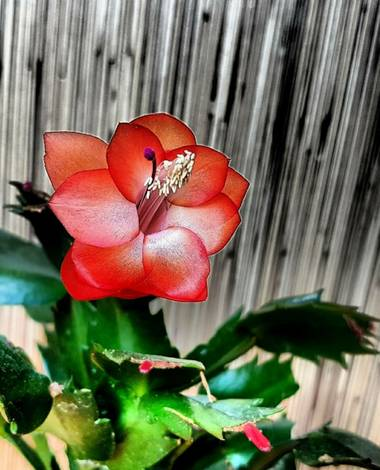 Rosa del Desierto en Hamelin: Flora  (Barcelona)