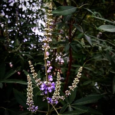 Navarroarevalomariateresa en Hamelin: Flora  (Viesca), Vitex agnus-castus, Madurando!