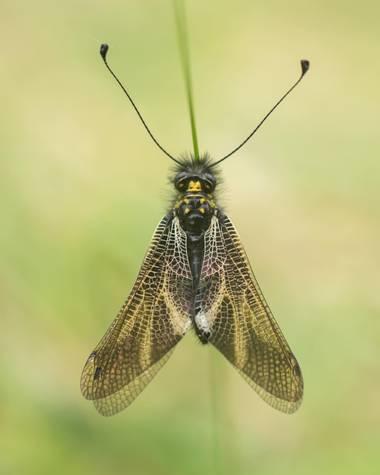 Alvarolopezmar en Hamelin: Fauna  (Navacerrada), Especie endémica de la península ibérica .