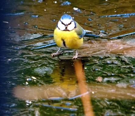 Migyus en Hamelin: Fauna  (Madrid), Cyanistes caeruleus (Linnaeus, 1758), #avesenmijardin  #aves_mig  #herrerillo