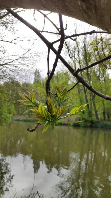 carmentxupsss en Hamelin: Flora  (Almazán), Fraxinus excelsior, #FLORA21
