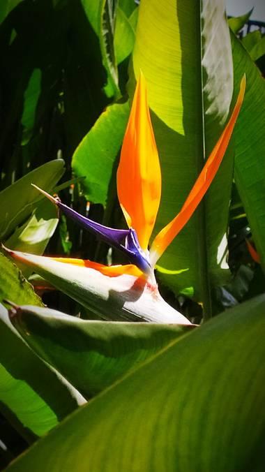 Mcjarama en Hamelin: Flora  (Benidorm), Strelitzia reginae, Flor#color#exotica#