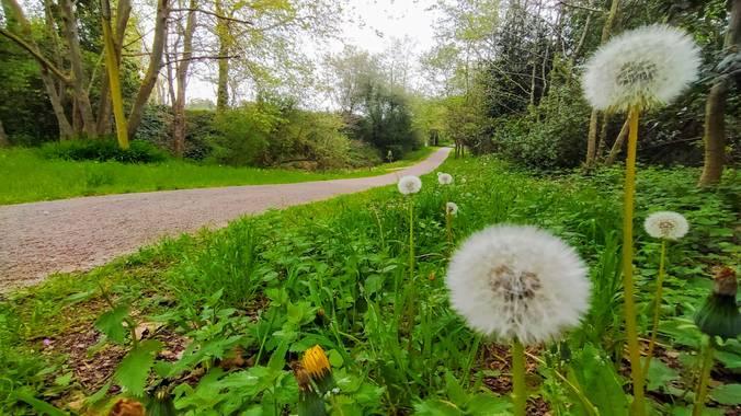 engraciaposada en Hamelin: Flora, #dientedeleon