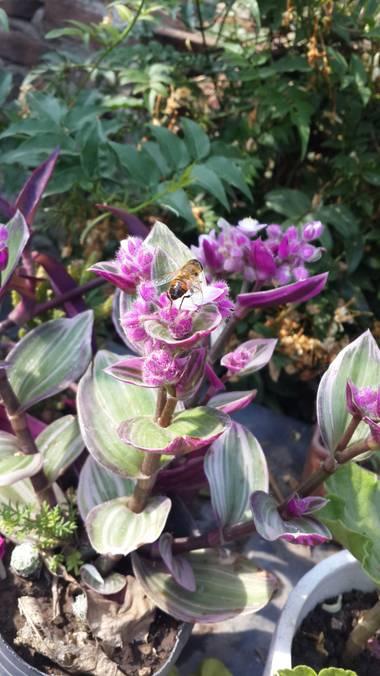 emax.linkin en Hamelin: Flora, Tradescantia cerinthoides