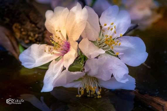 Yibilo en Hamelin: Flora, #flora21#almendro