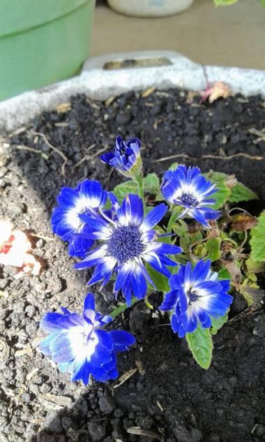 Eik15 en Hamelin: Flora  (Bosa), #flor #azul #florazul #florescolombianas