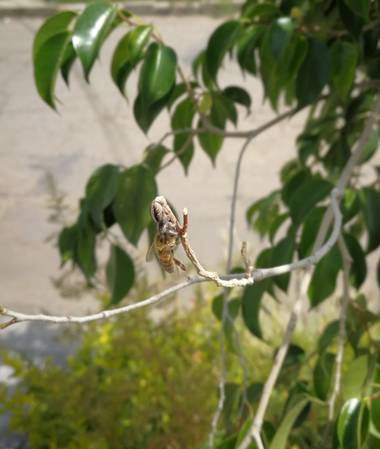 Dudurojas17 en Hamelin: Fauna  (Cochabamba), Abeja 🐝 sirviendo de alimento a una araña...