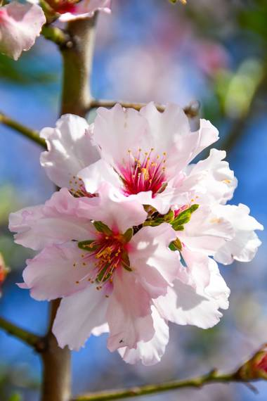 Ninigabi en Hamelin: Flora  (Isla Cristina), Prunus dulcis, #floralmendro