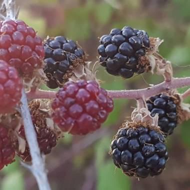 Ana Guillén en Hamelin: Flora  (Malpartida de Cáceres), Rubus ulmifolius, Moras rojas y negras silvestres