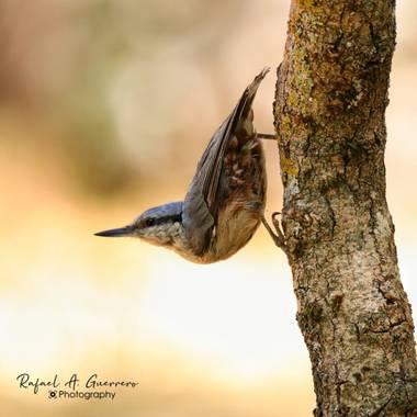 Rafael Alarcón Guerrero  en Hamelin: Fauna  (Madrid), Sitta europaea Linnaeus, 1758, #aves21 #birdsphotography #paseriforme #trepadorazul #birdwatching #bi...
