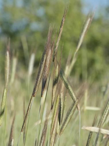 mariale en Hamelin: Flora, Secale cereale, 📸 #marialemdza  #BellezaNatural #Naturaleza Provincia de Zamora, primavera 2021.