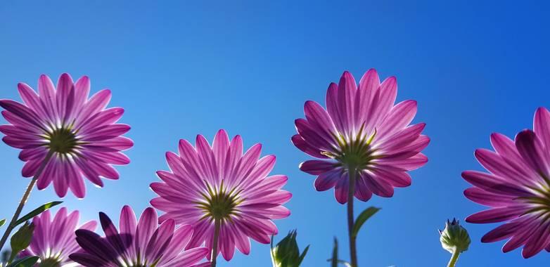 Artikanatur en Hamelin: Flora  (Chiva), Margaritas moradas #Flora21 #artikanatur #flor