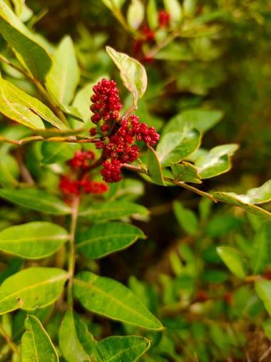 Jinliangarcia en Hamelin: Flora  (Castellet i la Gornal), Pistacia lentiscus, #flora21 #rojointenso Tan bella y pequeña brinda mucho color con su rojo inte...