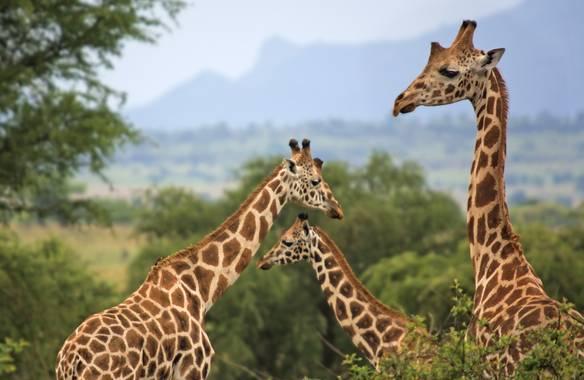 Ignicapillus en Hamelin: Fauna  (Kawalakol), Giraffa camelopardalis (Linnaeus, 1758), Coreografía de jirafas  En la fotografía de fauna salvaje, con modera...